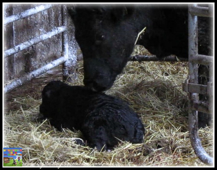 newborn calf, farming, barn, aberdeen angus, photo