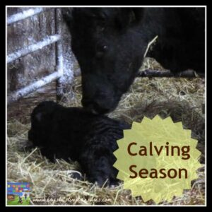 calving season, Aberdeen Angus cattle, kids and the miracle of birth, photo