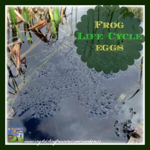 Frog life cycle eggs