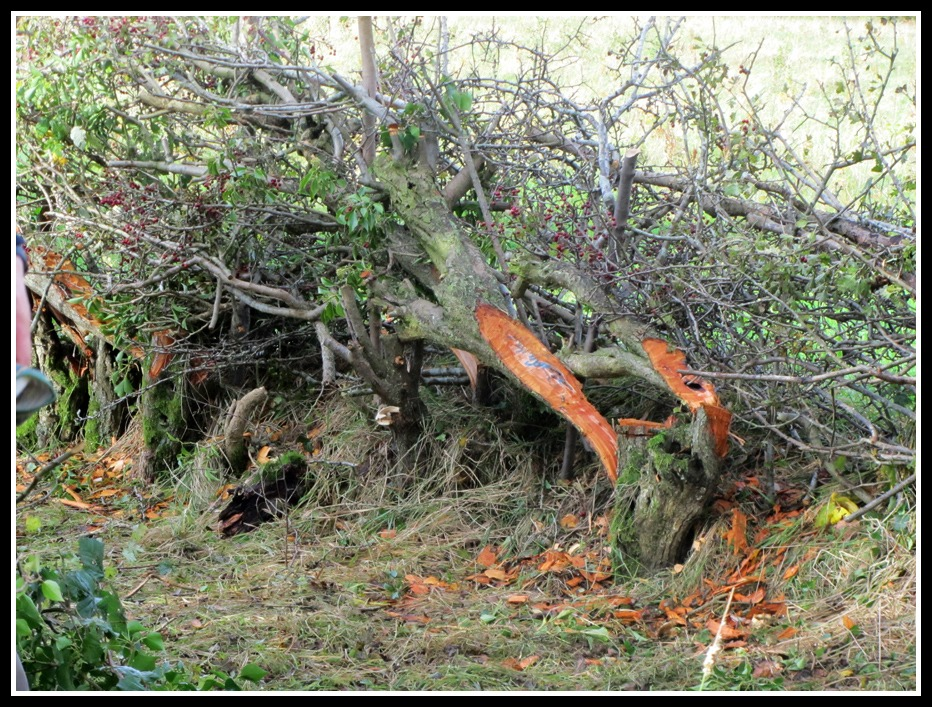 hedgerow laying in county Antrim, Diamond Jubilee Wood, Whitehead, Crystal McClean, Childminding, photo