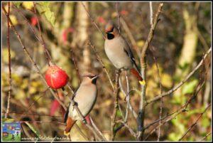 Waxwings, winter birds in Ireland, Garden birds, photo