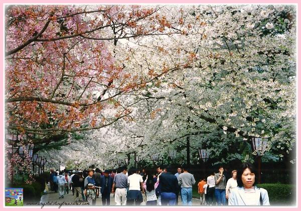 Hirosaki hanami, cherry blossom season in Japan, world celebrations, Crystal's Tiny Treasures, photo