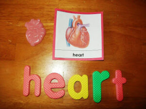 kids learning about the heart, human anatomy, photo