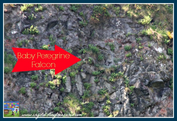 baby peregrine falcons, birds of prey in Northern Ireland, bird watching with kids, photo