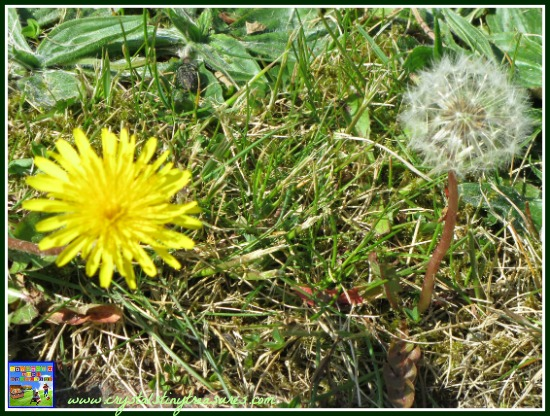 Dandelions are useful even when they have gone to seed, photo