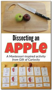 Dissecting-an-apple-Gift-of-Curiosity