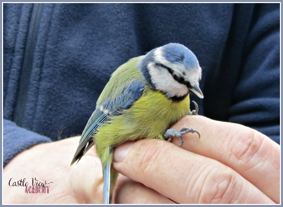 Ringing a blue tit on a Sunday morning; getting up close with nature and Castle View Academy