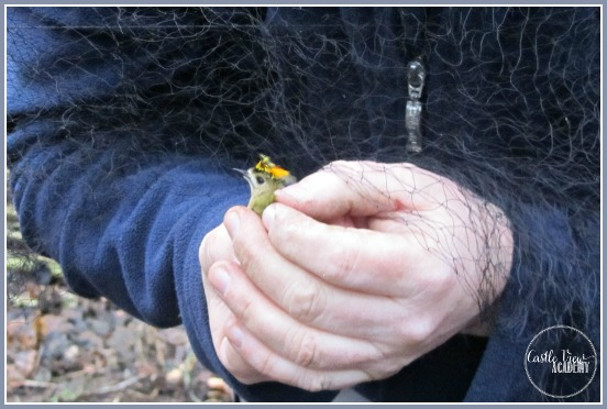 Untangling a gold crest from a mist net during a bird banding session with Castle View Academy