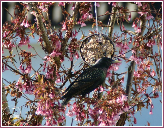 Starlings love to eat from the coconut bird feeder by CastlViewAcademy