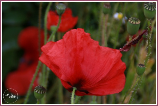Beautiful poppies grow wild with Castle View Academy