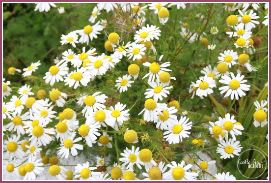 Daisies from Grow Wild and Castle View Academy
