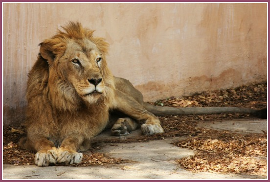 Lion at Jaipur zoo, Jaipur for kids