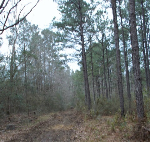 pine tree farm in South Louisiana