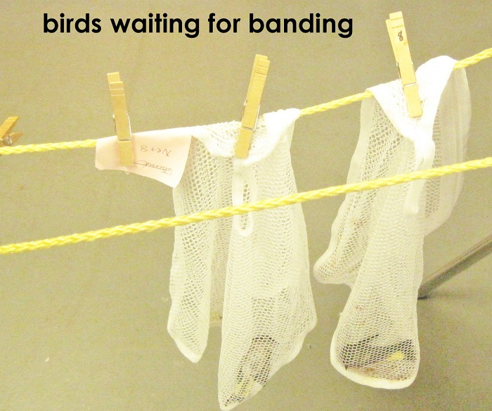birds-waiting-to-for-banding, , The Wise Owl Factory writes for Castle View Academy homeschool