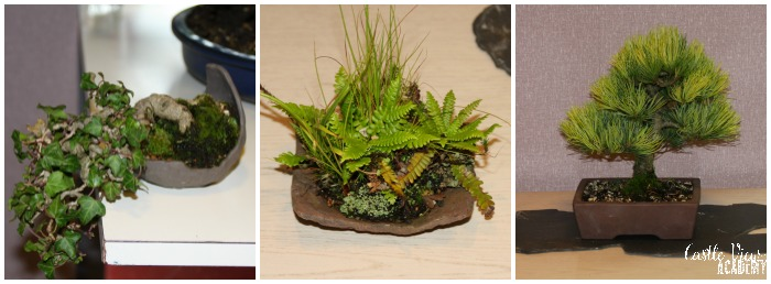 Miniature bonsai in Northern Ireland with Castle View Academy homeschool