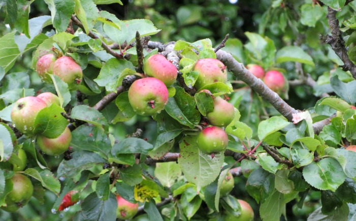 Foraging for apples in Northern Ireland